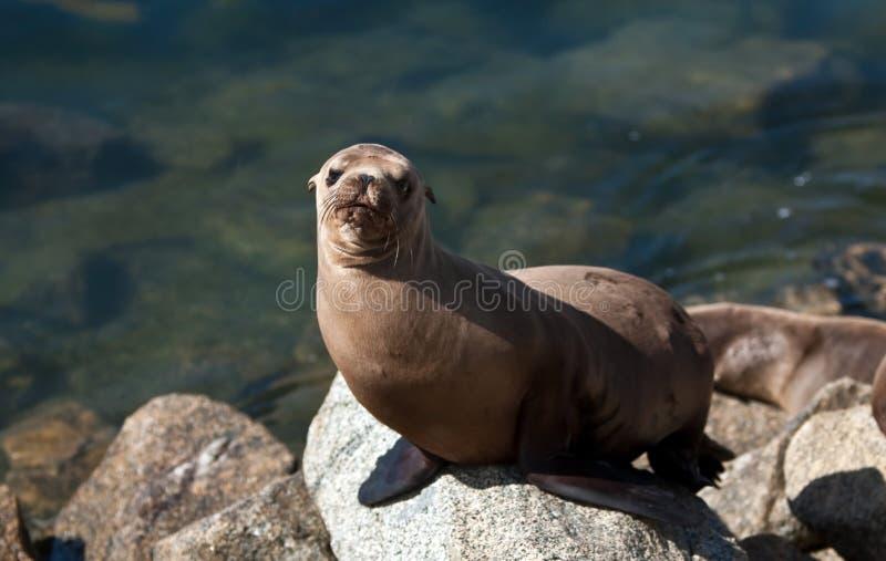 Leone di mare della California in porto immagine stock