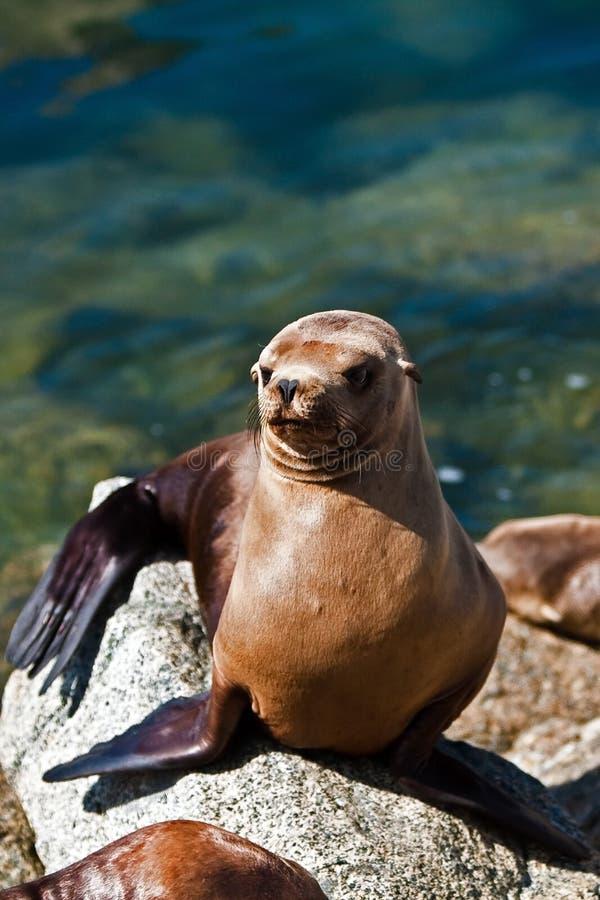 Leone di mare della California in sole immagini stock