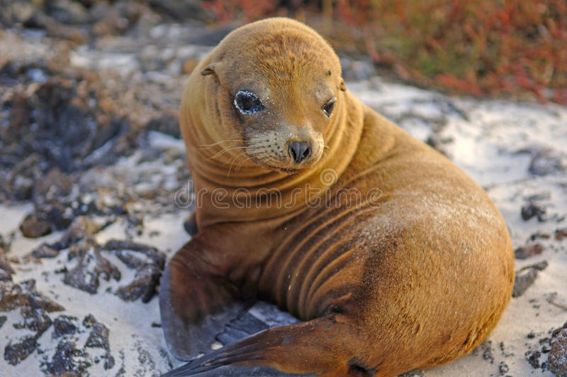 Leone di mare, isole di Galapagos, Ecuador immagini stock libere da diritti