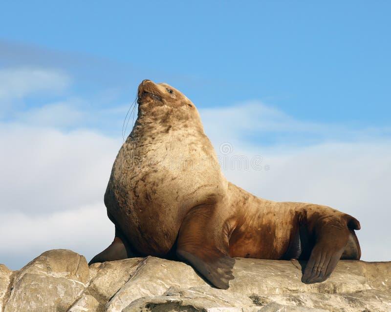 Leone di mare selvaggio maschio fiero di Steller immagine stock libera da diritti