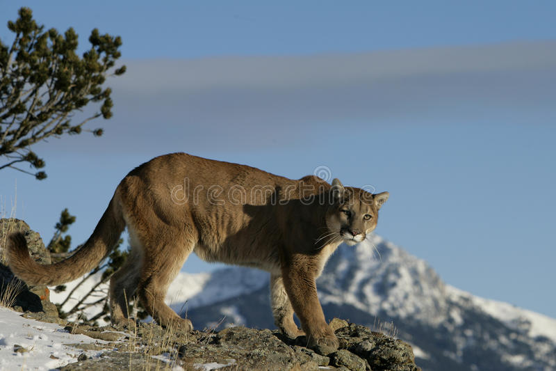 Leone di montagna in sagebrush immagine stock libera da diritti