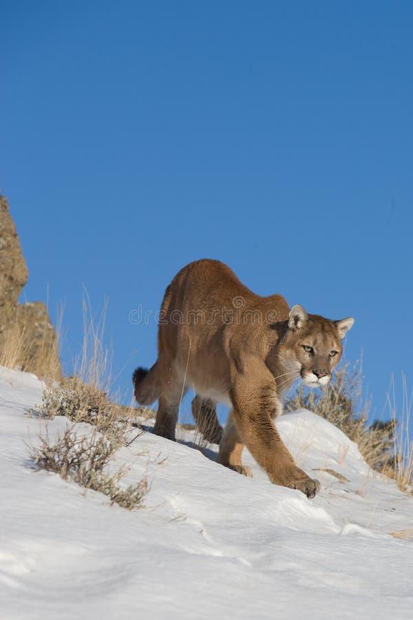 Leone di montagna sulla cresta della montagna fotografia stock libera da diritti