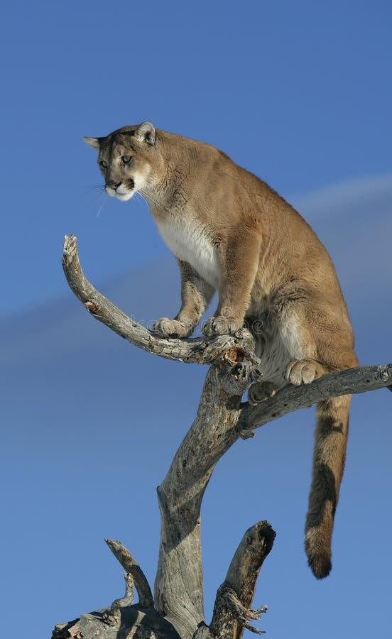 Leone di montagna in un albero immagini stock libere da diritti