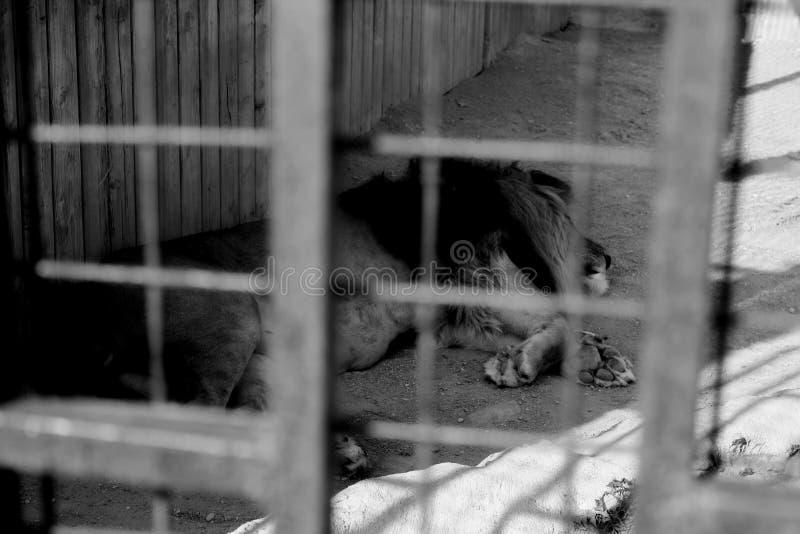 Leone di sonno nello zoo di Minsk fotografia stock