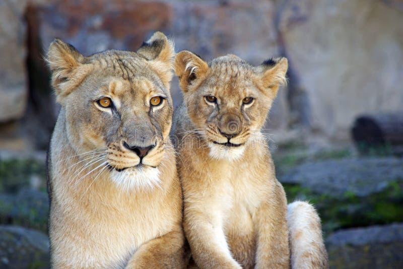 Leone e cucciolo femminili immagini stock libere da diritti