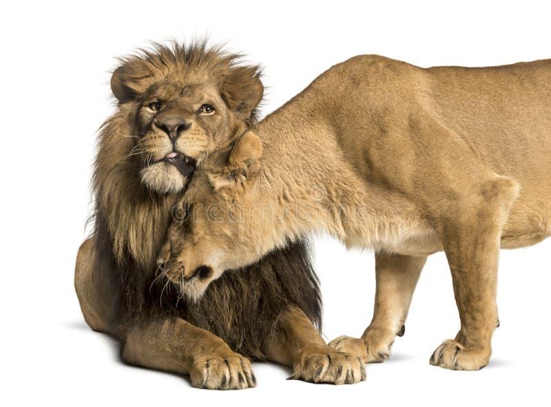 Leone e leonessa che stringono a sé, panthera Leo, isolato immagine stock