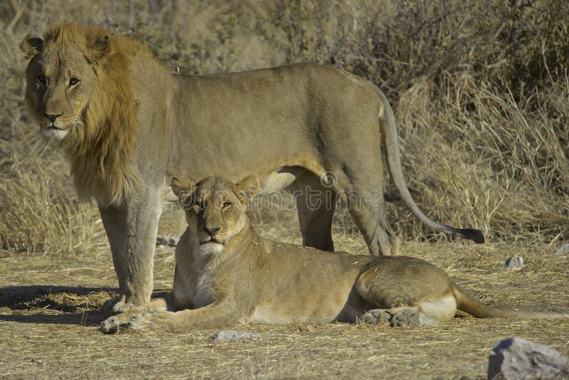 Leone e leonessa (panthera Leo) fotografia stock