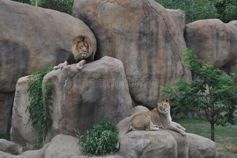 Leone e leonessa sulle rocce fotografia stock libera da diritti