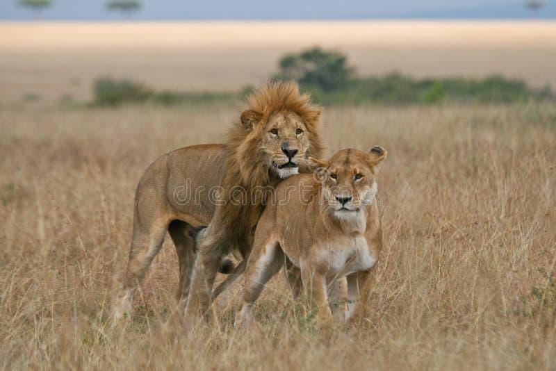 Leone e Lioness immagine stock