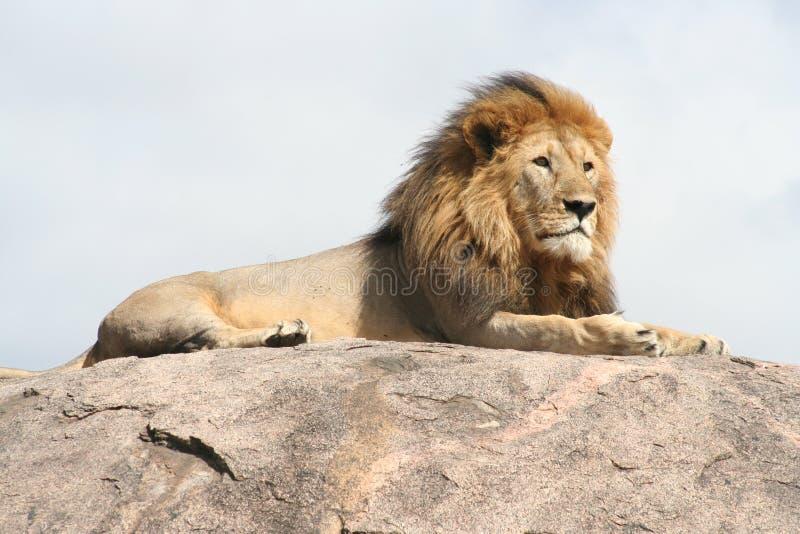 Leone een ripososulla roccia royalty-vrije stock foto's