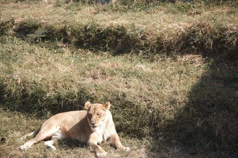 Leone in fauna selvatica fotografia stock libera da diritti