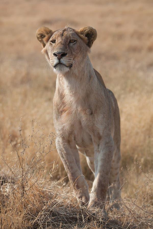 Leone femminile