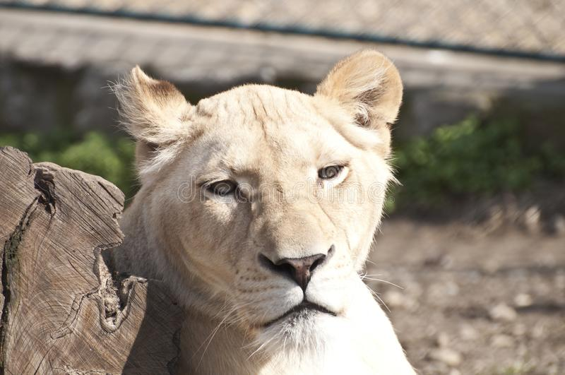 Leone femminile bianco fotografie stock