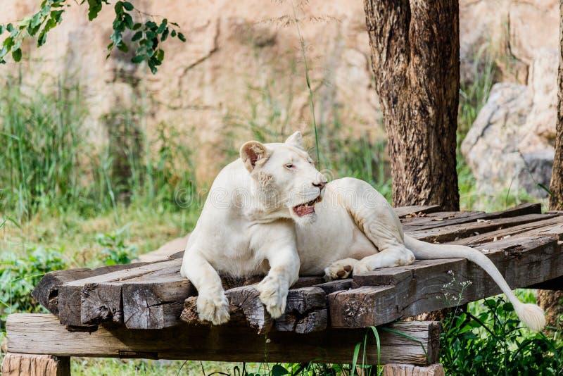 Leone femminile bianco fotografia stock