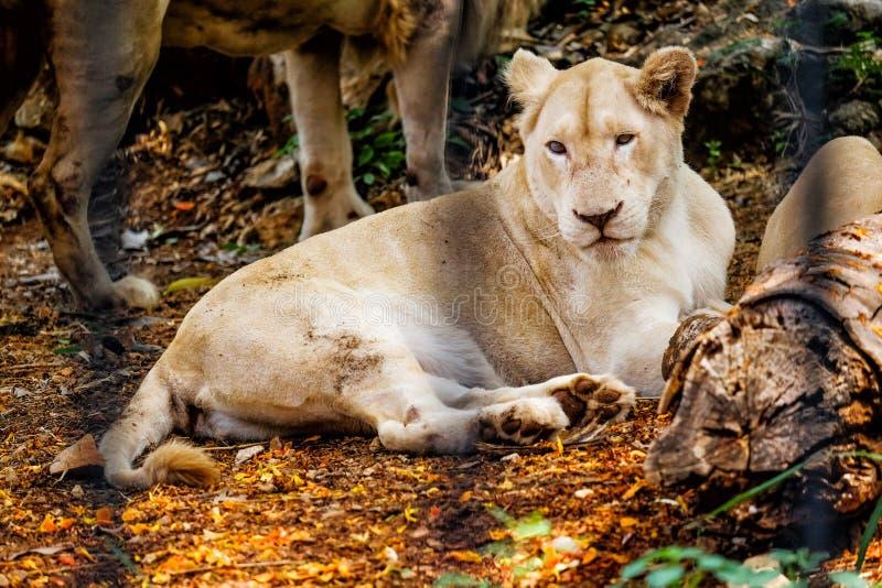 Leone femminile bianco in gabbia fotografia stock