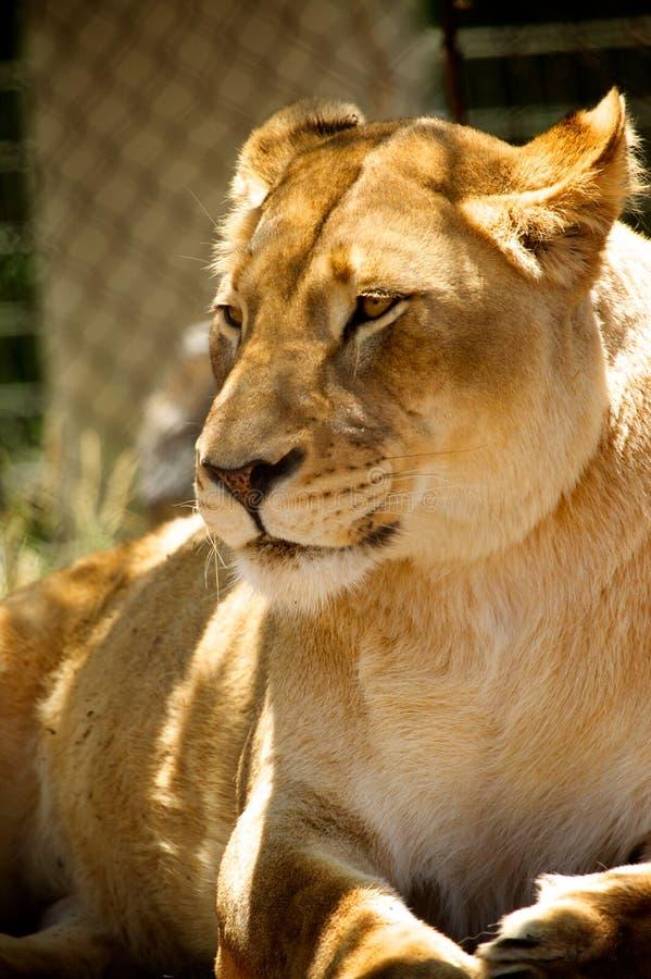 Leone - giardino zoologico immagini stock libere da diritti