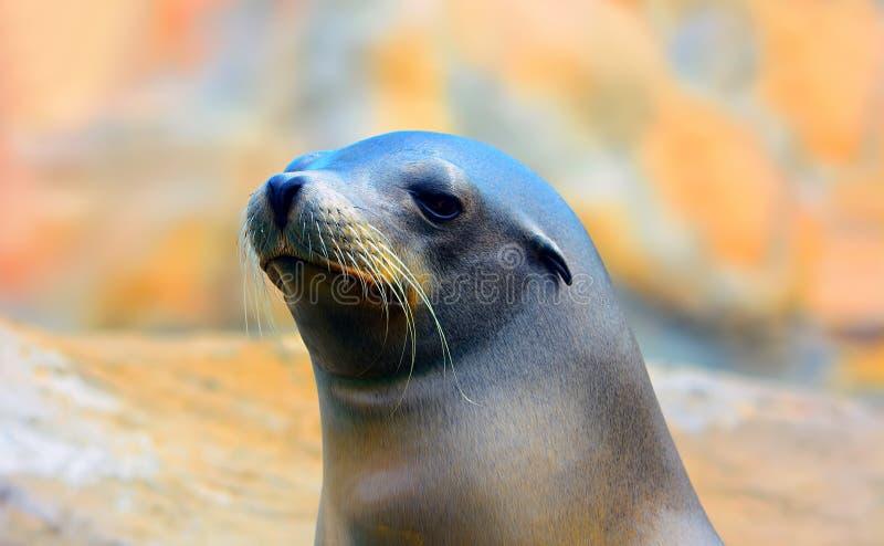 Leone marino immagine stock