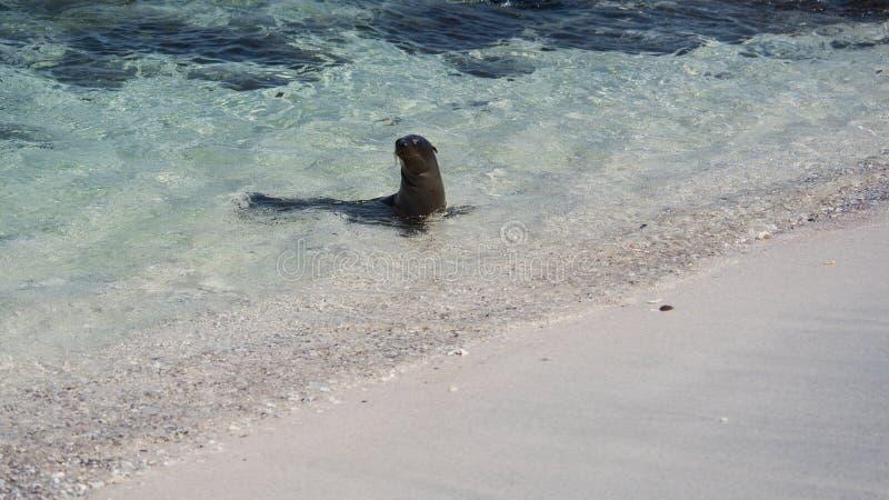 Leone marino all'isola di Mosquera, Galapagos fotografia stock libera da diritti