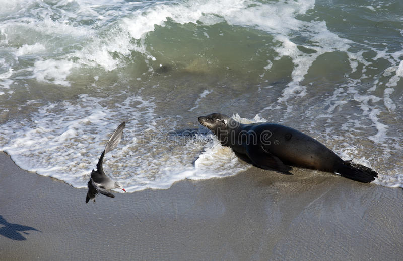 Leone marino alla spiaggia di La Jolla California immagini stock libere da diritti