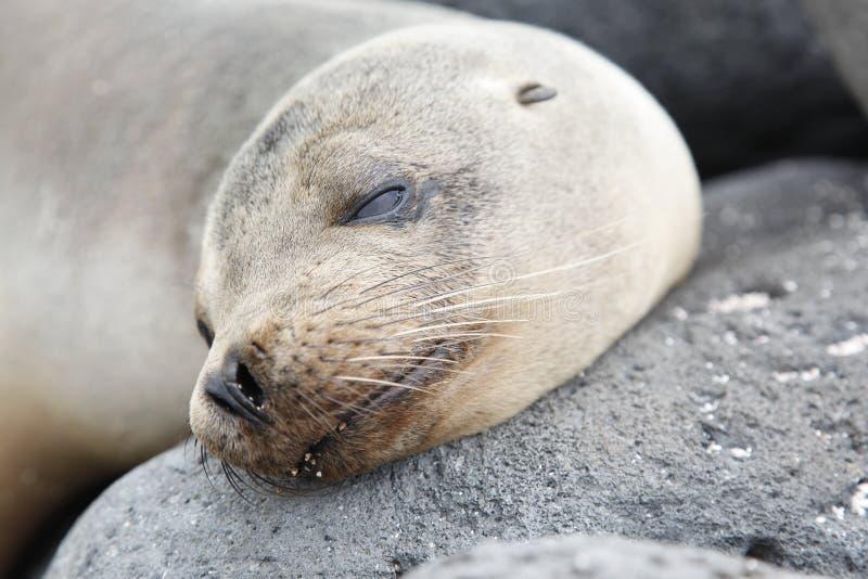 Leone marino capo, Galapagos immagini stock