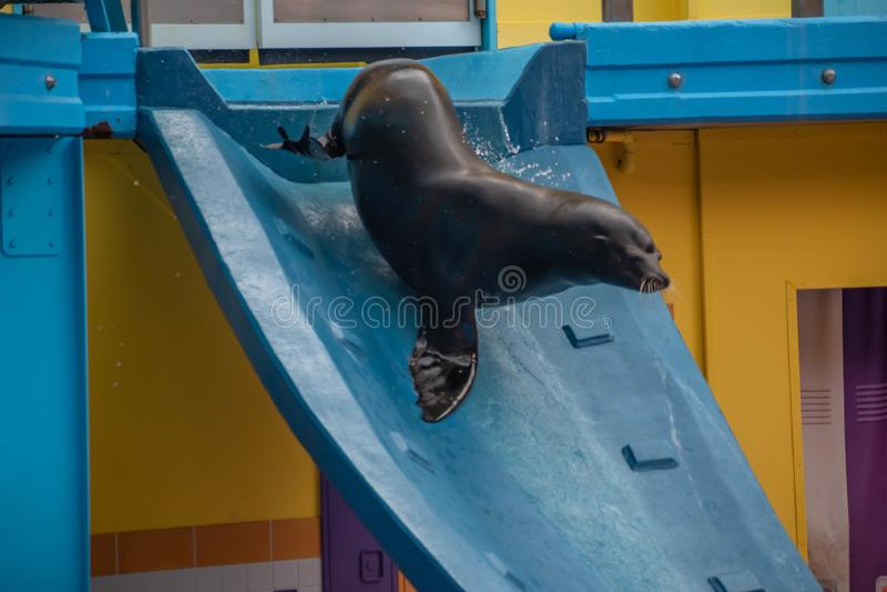 Leone marino che fa scorrere giù scorrevole nella manifestazione di Lion High del mare a Seaworld immagine stock