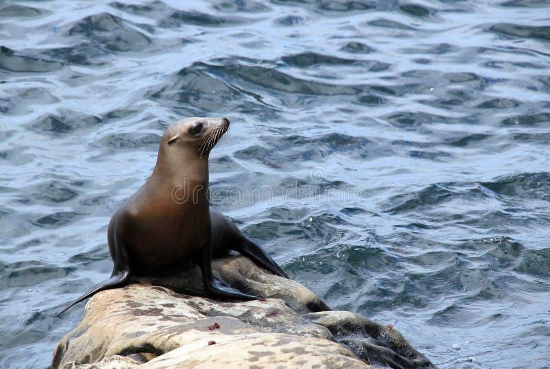 Leone marino di California fotografia stock libera da diritti
