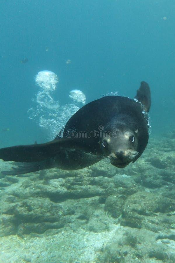 Leone marino di California immagine stock