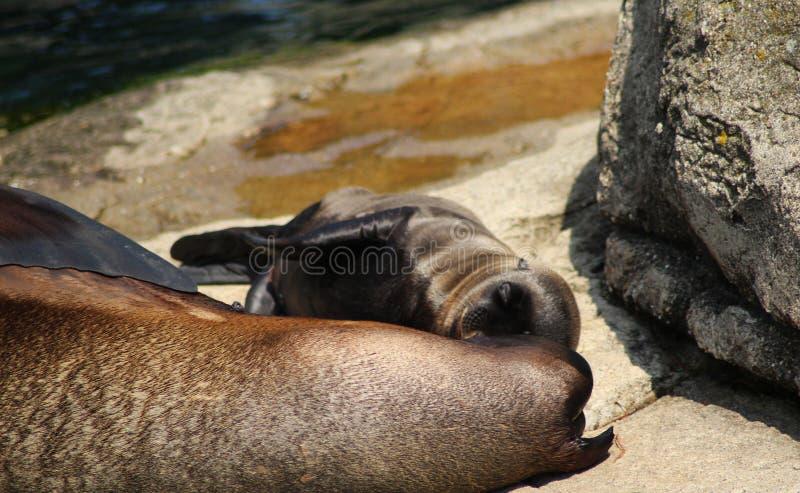 Leone marino di California, madre con il cucciolo immagini stock libere da diritti