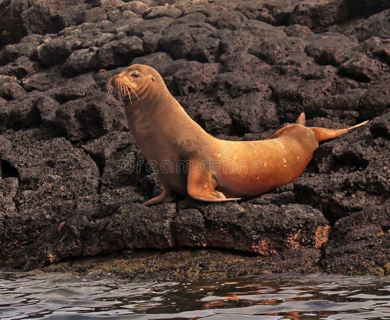 Leone marino di Galapagos fotografie stock