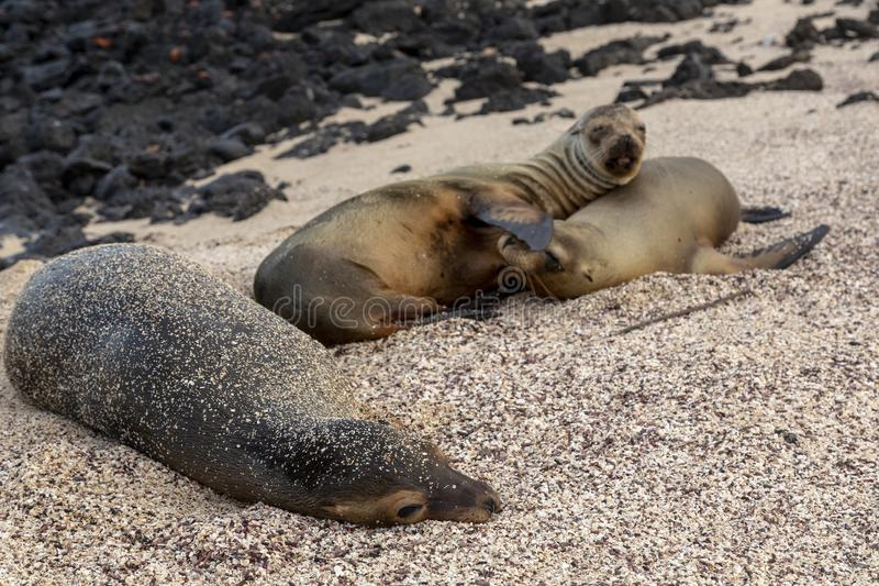 Leone marino di Galapagos in isole Galapagos fotografia stock