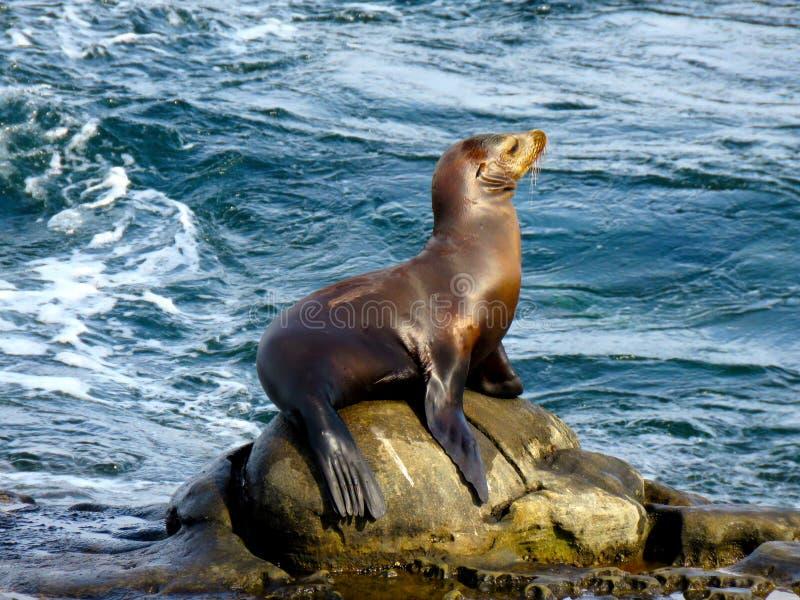 Leone marino a La Jolla immagine stock libera da diritti