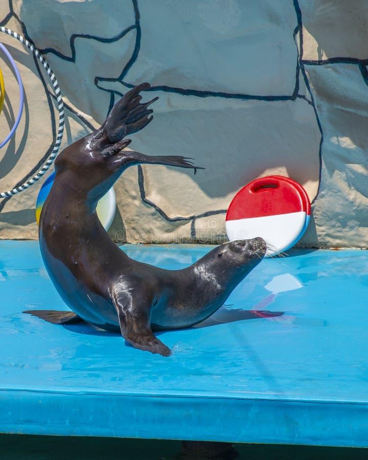 Leone marino in scena nel Dolphinarium fotografia stock libera da diritti