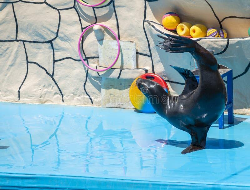 Leone marino in scena nel Dolphinarium fotografia stock