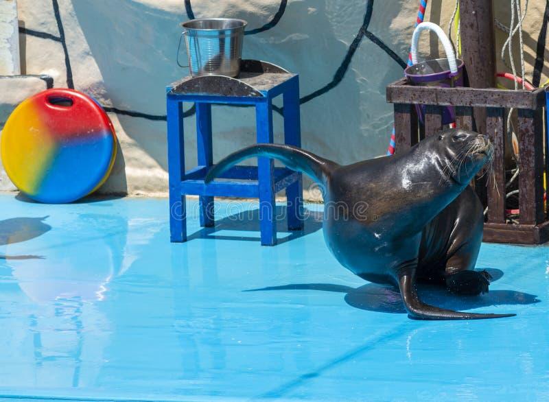 Leone marino in scena nel Dolphinarium immagine stock
