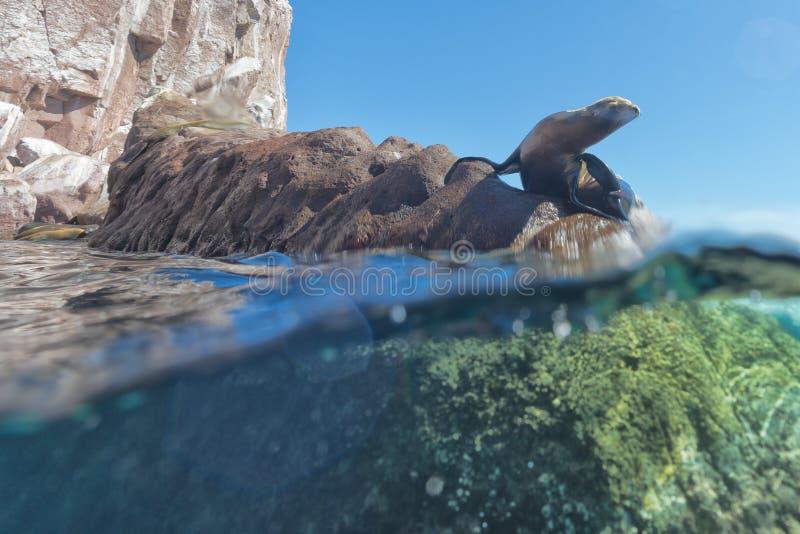 Leone marino sotto ed acqua superiore che vi esamina fotografia stock