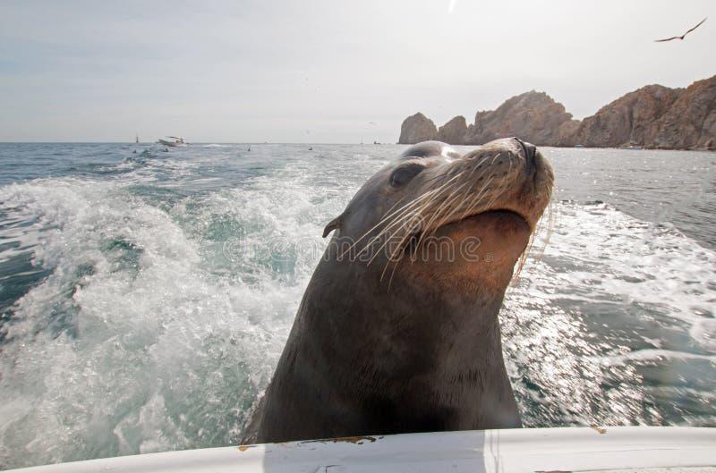 Leone marino sul retro del peschereccio dello statuto che elemosina il pesce dell'esca in Cabo San Lucas Baja Mexico fotografia stock libera da diritti
