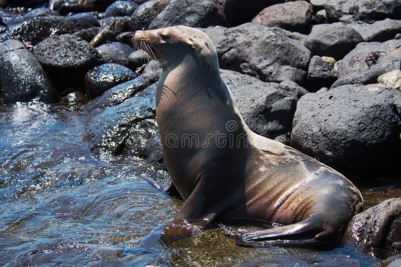 Leone marino sull'isola del sud della plaza fotografia stock libera da diritti