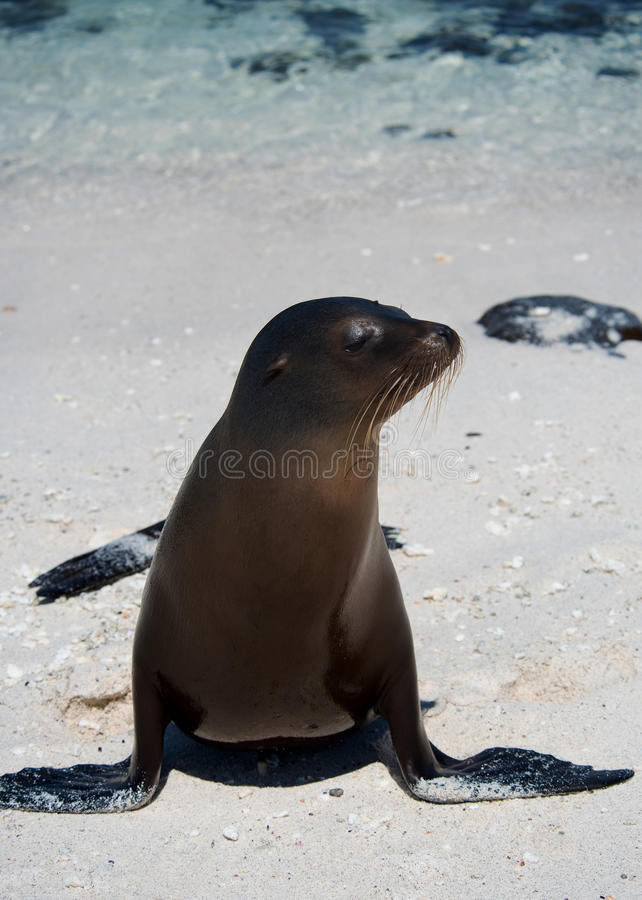 Leone marino sull'isola di Mosquera immagine stock libera da diritti