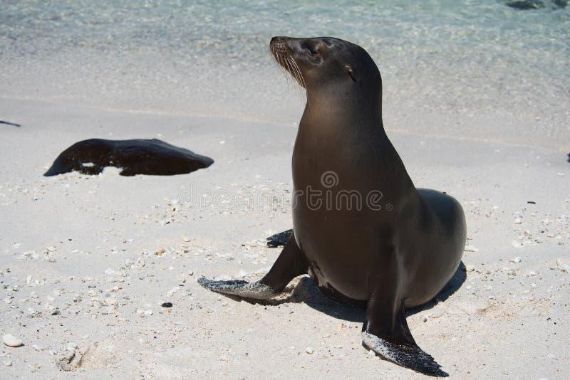 Leone marino sull'isola di Mosquera immagini stock libere da diritti