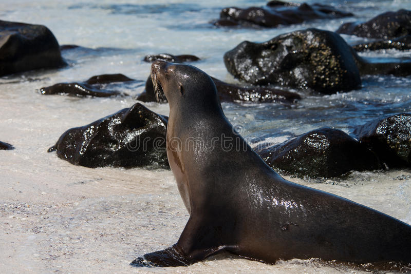 Leone marino sull'isola di Mosquera, Galapagos immagini stock