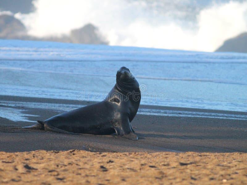 Leone marino sulla spiaggia fotografie stock libere da diritti