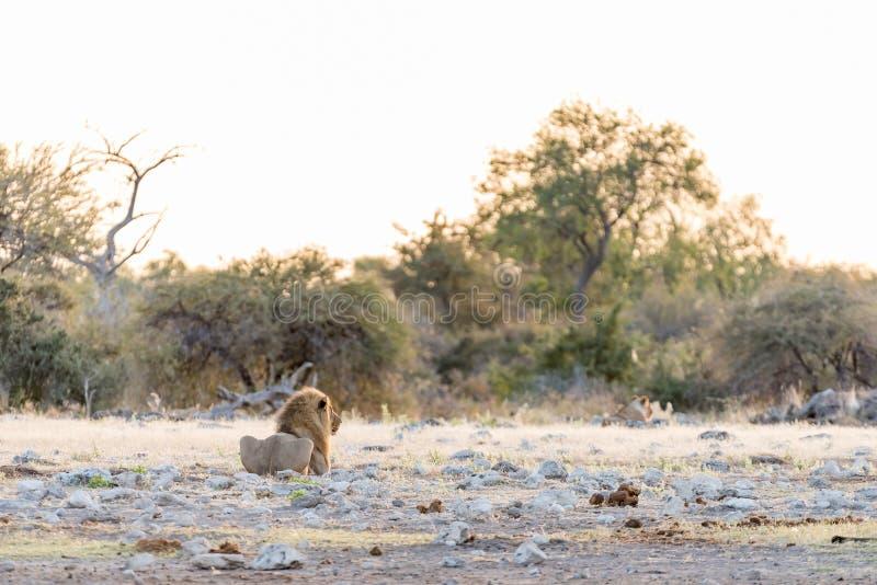 Leone maschio ad alba in Namibia immagini stock libere da diritti