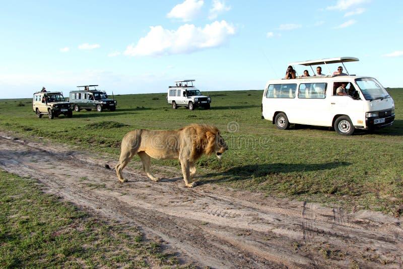Leone maschio adulto che cammina fra tre veicoli bianchi di safari con i turisti fotografia stock libera da diritti