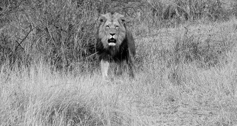 Leone maschio in bianco e nero immagini stock