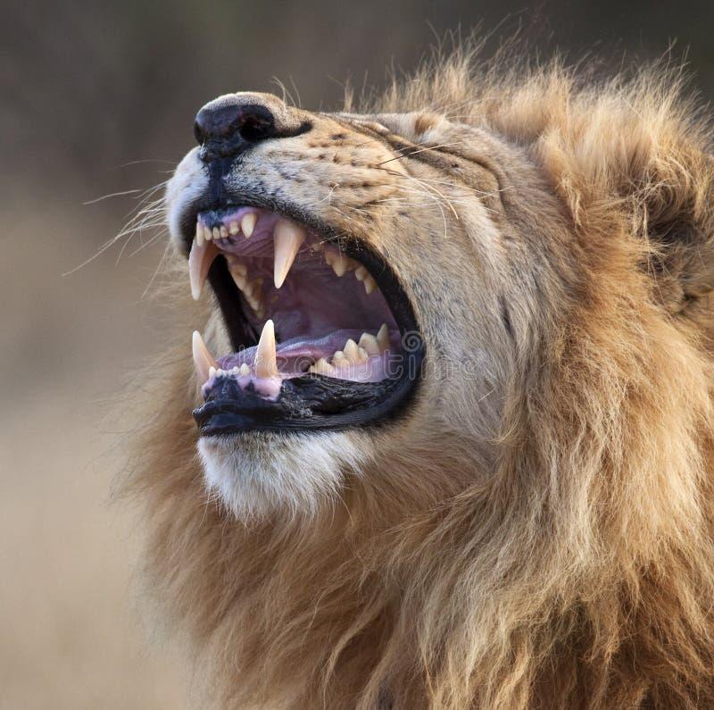 Leone maschio - Botswana fotografia stock libera da diritti