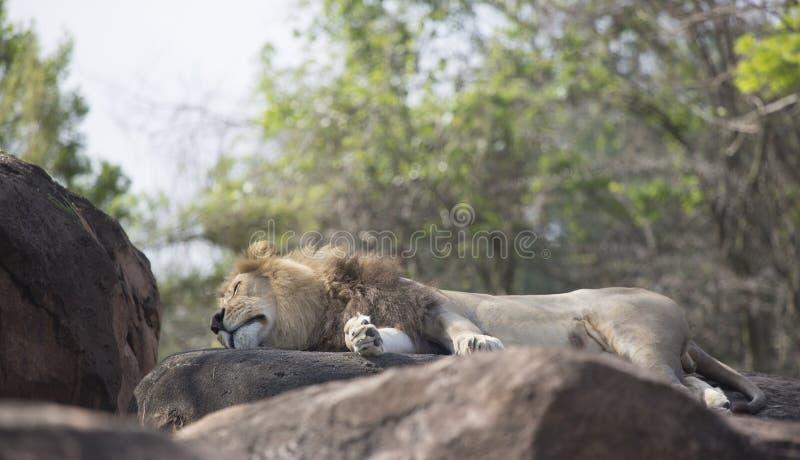Leone maschio che dorme sulle rocce fotografie stock