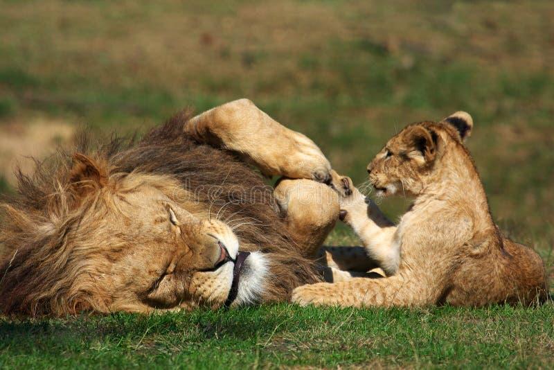 Leone maschio che gioca con il cub fotografie stock