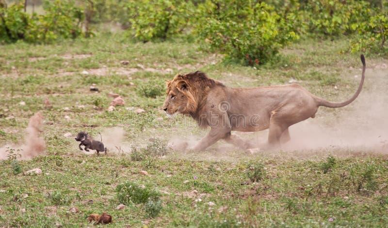 Leone maschio che insegue il warthog del bambino immagini stock