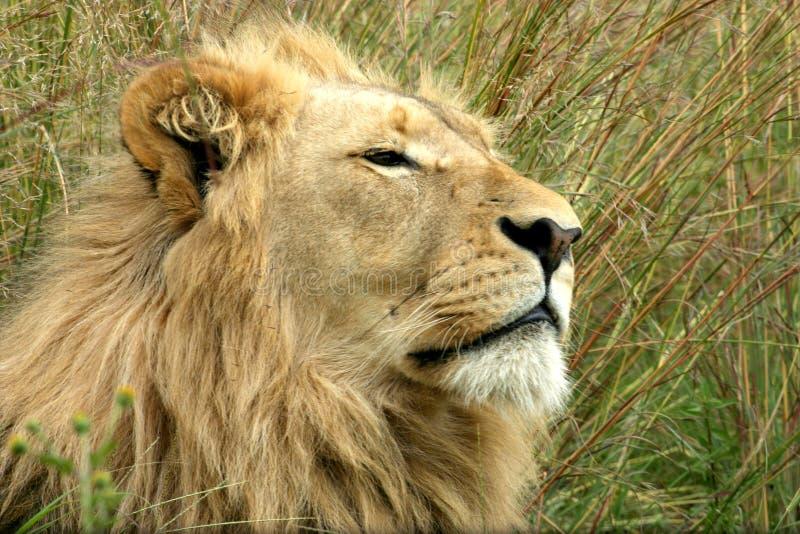 Leone maschio che si rilassa nell'erba lunga immagini stock libere da diritti