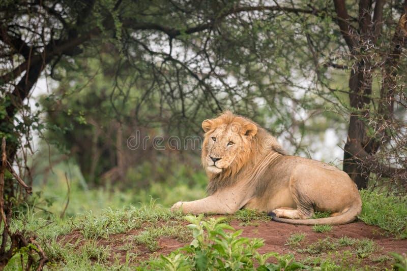 Download Leone Maschio Che Si Trova In Legno Sul Monticello Immagine Stock - Immagine di filiale, safari: 117975209